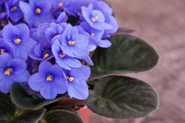 Scelte per te giardino fiore saintpaulia for Violetta africana