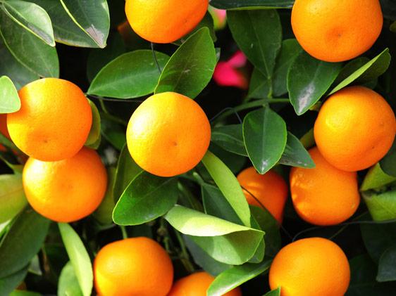 Scelte per te giardino pianta kumquat for Giardino cinese