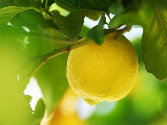 Scelte per te giardino pianta limone for Pianta di limone