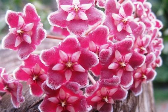 Fiore di Cera
