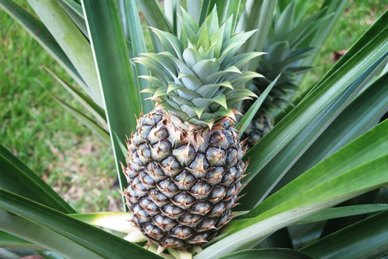 pianta dell 39 ananas come coltivare scelte per te