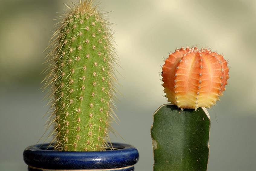 Come curare le piante grasse in inverno for Curare le piante