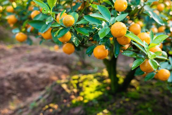 Pianta del Mandarino