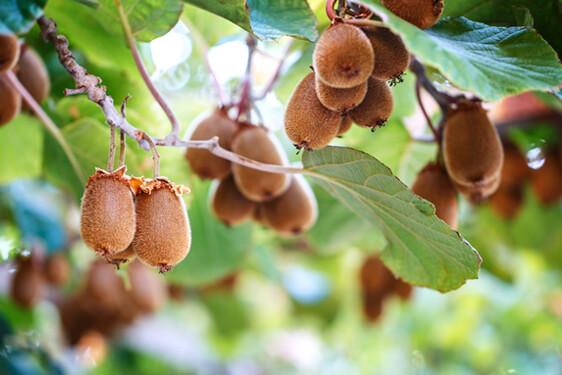 Pianta del kiwi come coltivare scelte per te for Kiwi pianta