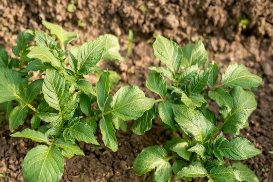 pianta della patata come coltivare scelte per te