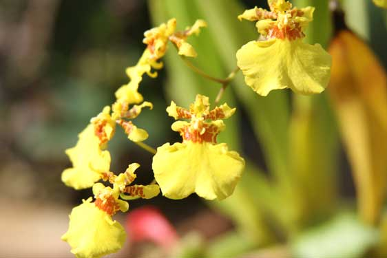 Orchidea Oncidium