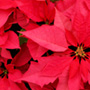 Poinsettia Day