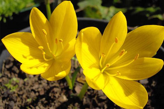 Scelte per te piante e fiori da giardino da scoprire e - Calibrachoa perenne ...