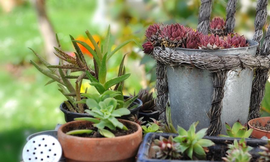 Come curare le piante grasse durante l 39 estate scelte per te for Curare le piante
