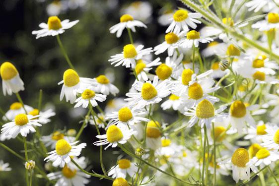 Camomilla in fiori