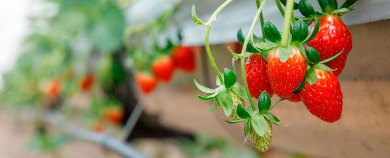 5 Piante da frutto per piccoli spazi