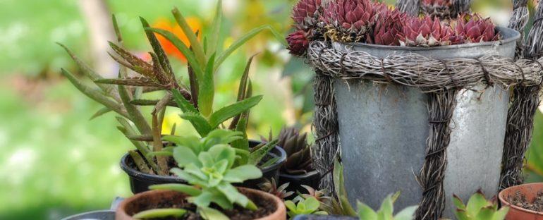 Come curare le piante grasse durante l'estate